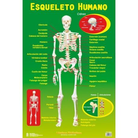 Lámina Educativa Esqueleto