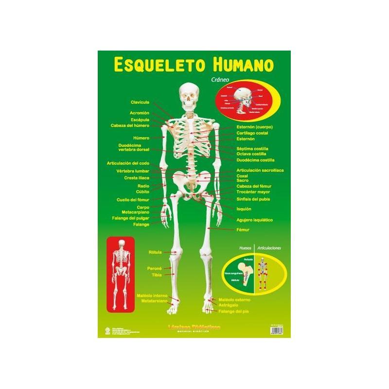 La Lámina Educativa Esqueleto de mejor calidad y precio en NosoloPoster.