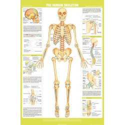 Poster The Human Skeleton