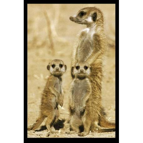 Maxi Poster Meerkats