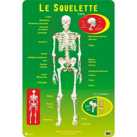 Planches Éducatives Le Squelette Humain