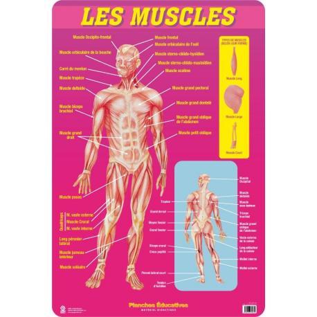 Planches Éducatives Les Muscles