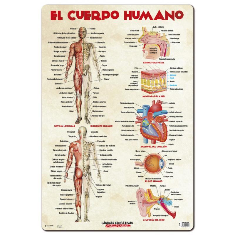 Lamina Educativa El Cuerpo Humano - Nosoloposters.com