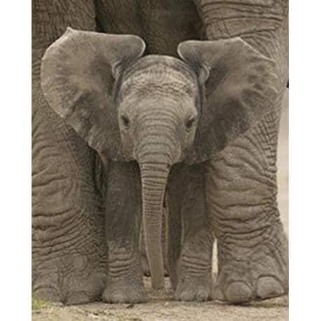 Miniposter Baby Elefante