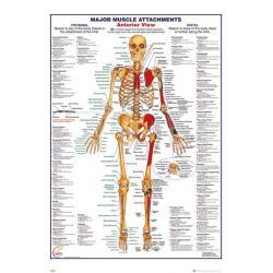 Poster Cuerpo Humano Principales Inserciones Musculares (EN)