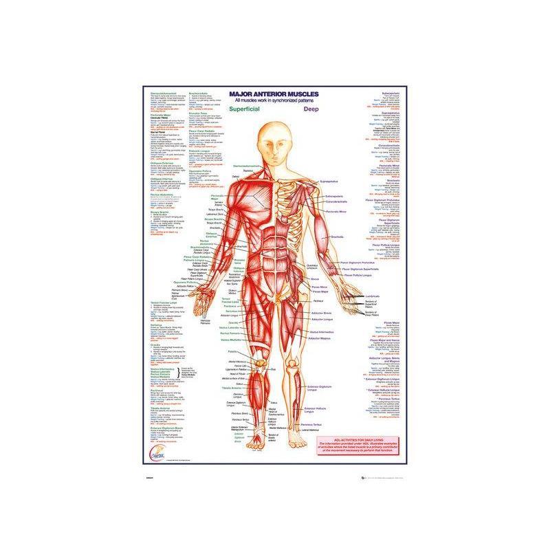 Poster Cuerpo Humano ¡Comprar Online!