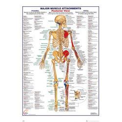 Poster Cuerpo Humano Principales Inserciones Musculares - Vista Posterior (EN)