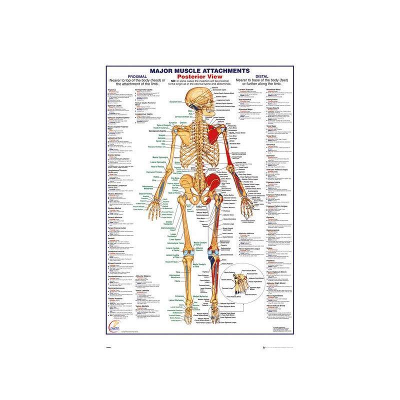 Poster Cuerpo Humano Principales Inserciones